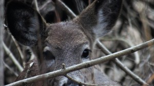 Mside widescreen deer